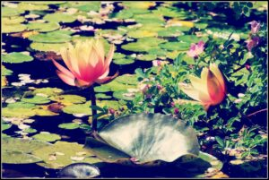 lotus-flower-in-water-1113tm-pic-840